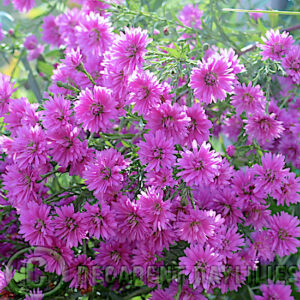 Aster Ruby buttons