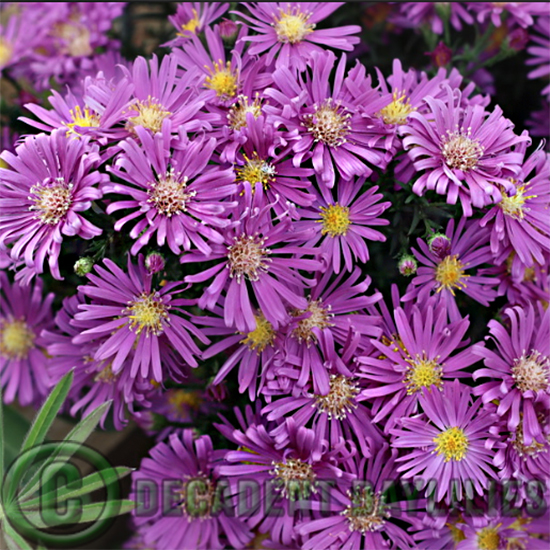 Aster tonga purple growing in my garden