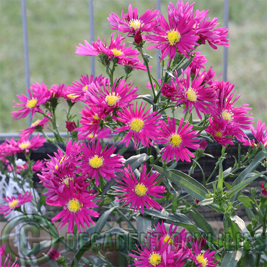 Aster Winston Churchill growing in my garden
