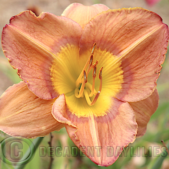 Easy to Grow Daylily Leprechauns Luck