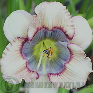 Cream petals blue eyed daylily
