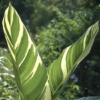 Canna Stuttgart cream to white and green magnificent leaves