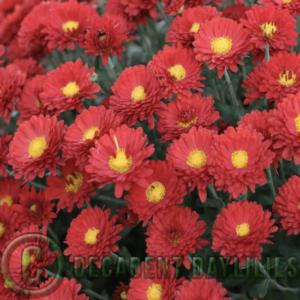 Chrysanthemum red flowers of buninyong bronze