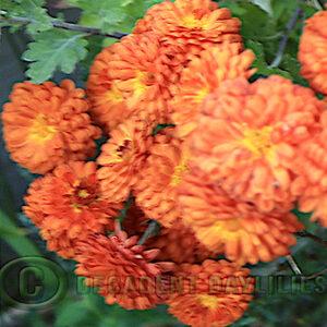 copper button chrysanthemum