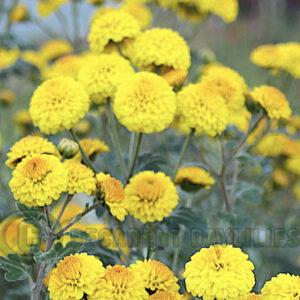 Yellow button type Chrysanthemum