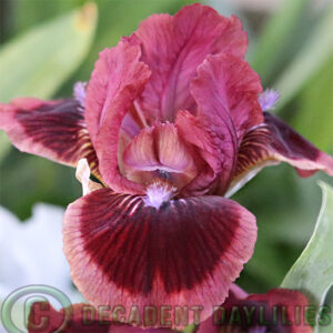 Dwarf Bearded Iris Cats Eye