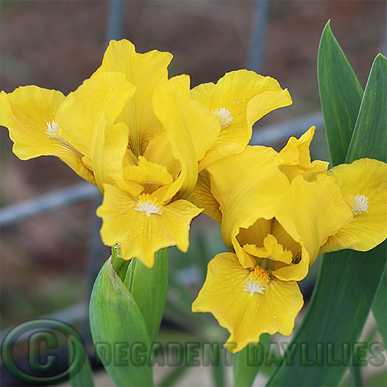 Brilliant gold dwarf bearded Iris