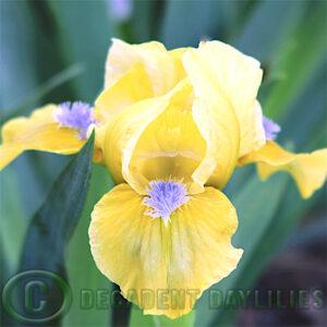 Dwarf Bearded Iris Happy Easter