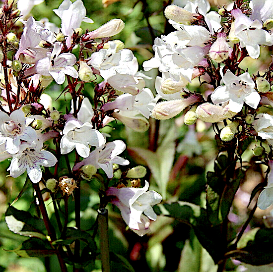 Penstemon husker's red grows in dry climate gardens