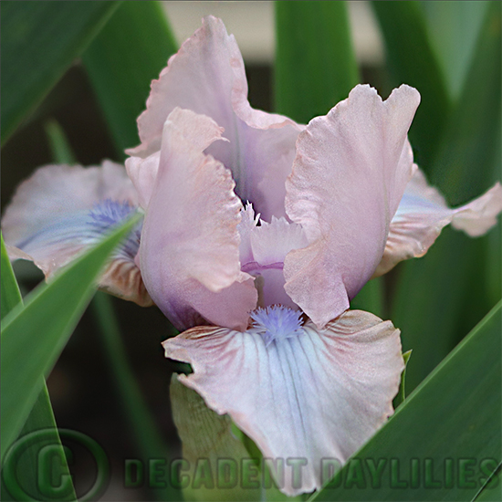 Dwarf Bearded Iris Smitten