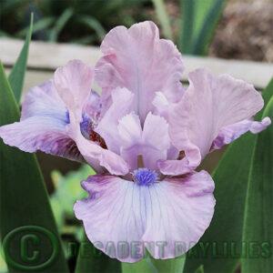 Pink dwarf bearded iris meet me