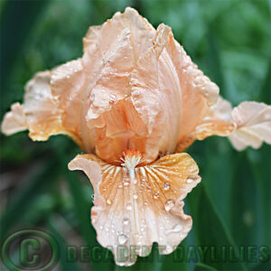 Dwarf Bearded Iris Apricot Kisses