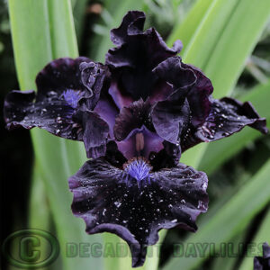 Dwarf Bearded Iris Bad Intentions near black