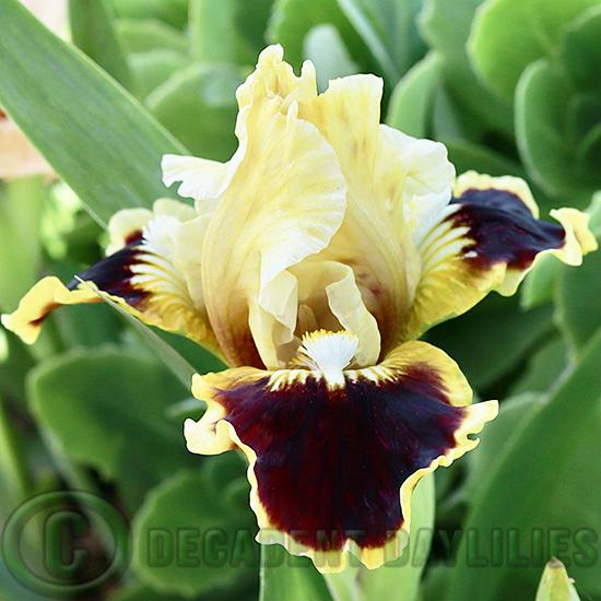 Dwarf Bearded Iris Jazzamatazz a border plant in my garden