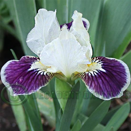Dwarf Bearded Iris Making Eyes