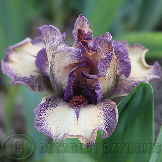 Dwarf Bearded Iris New Release a new release for me