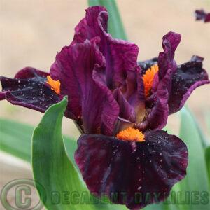 Dwarf Bearded Iris Outspoken