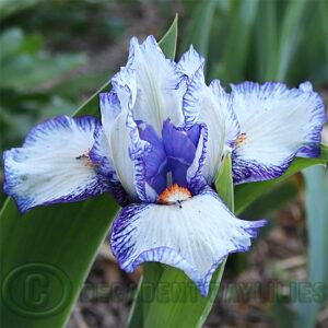 Dwarf Bearded Iris Prospectus