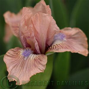 Dwarf Bearded Iris Vibes