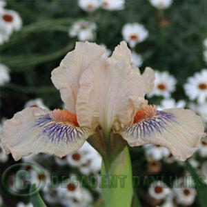 Dwarf Bearded Iris Web Of Desire
