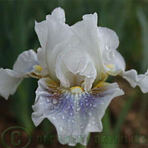 Median Bearded Iris Cool Call
